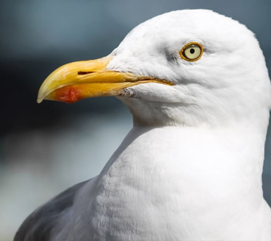 Hereford Seagull